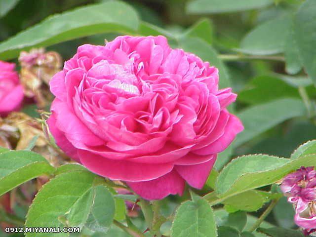 این گل رز تقدیم به همه دوستان