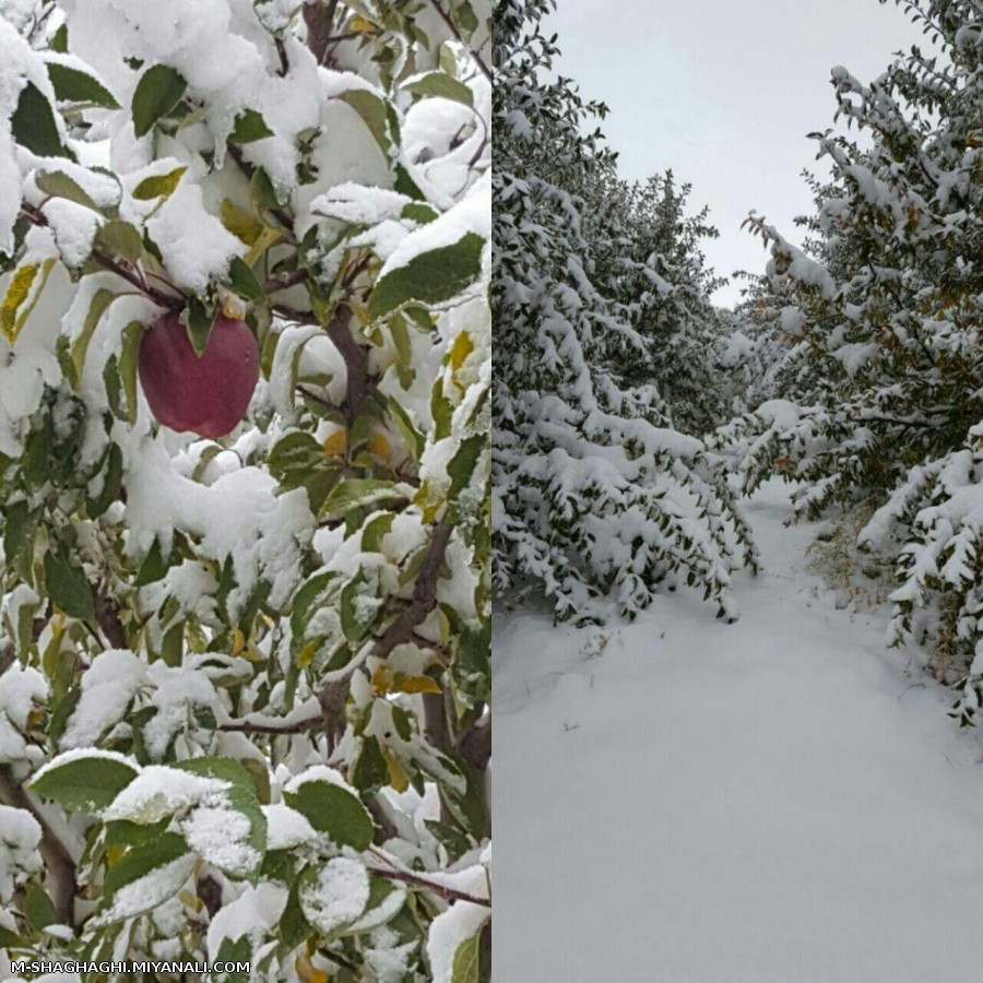 خسارت به درختان سیب روستای توشمنلو از توابع شهرستان میانه قبل از برداشت