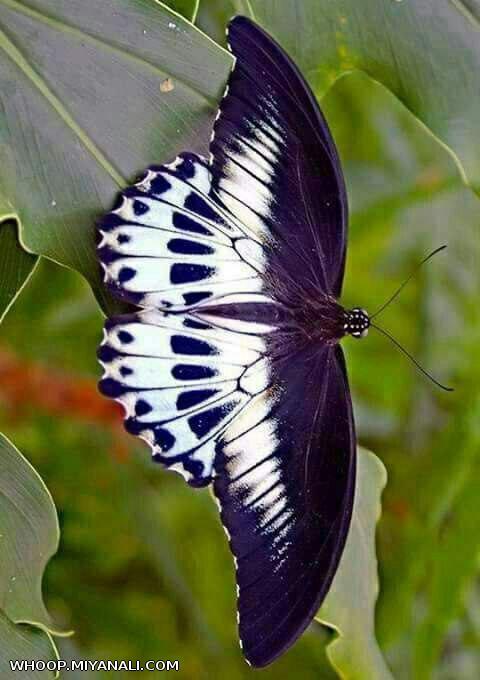 پروانه وار میمیرم