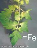 آشنایی با کمبود کود آهن در مزارع ،گلخانه وباغات و نحوه تشخیص، مقابله وکنترل آن