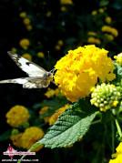 پروانه بهار