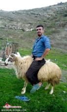 عکس خنددارسواری با گوسفندنر