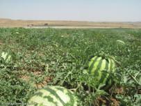 مزرعه جالیز در میانه برروش آبیاری نواری