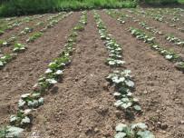 مزرعه صیفی در میانه