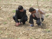 آموش سر مزرعه کشت جالیز به روش نواری