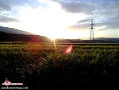 غروب زیبای گندمزارهای روستای عباس آباد