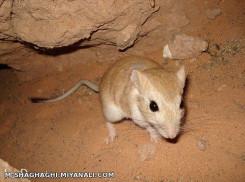 موش صحرائی