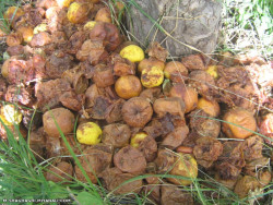 ضایعات میوه ورعایت بهداشت باغ