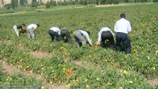 برداشت گوجه فرنگی از مزارع میانه